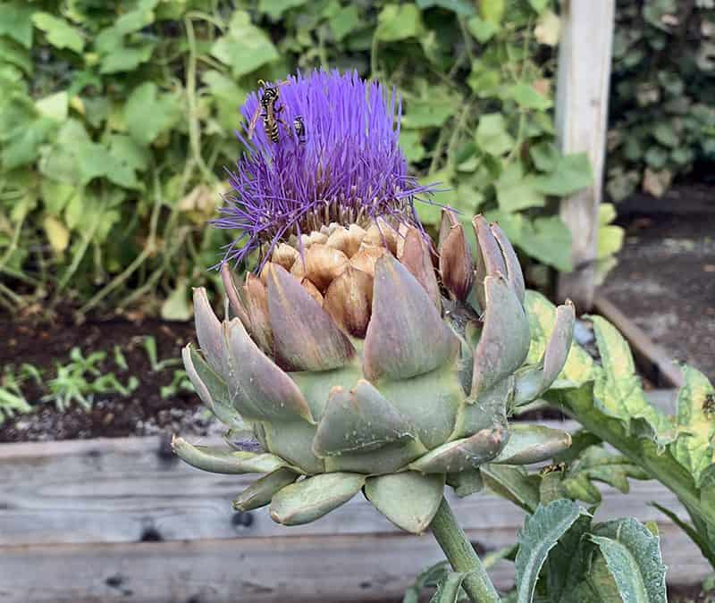 Weed Seeds, Artichokes, and Citrus Trees