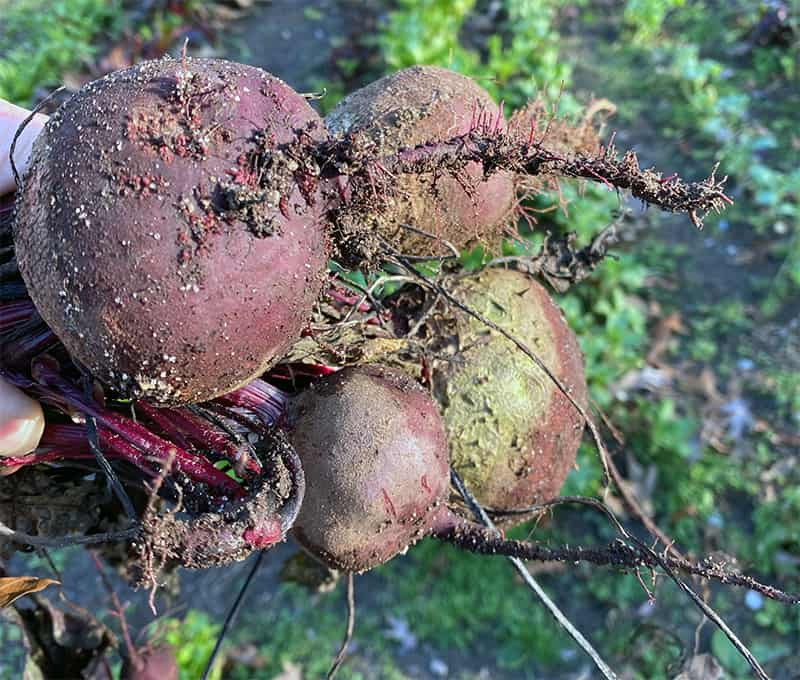 Raw beets have an earthy flavor.
