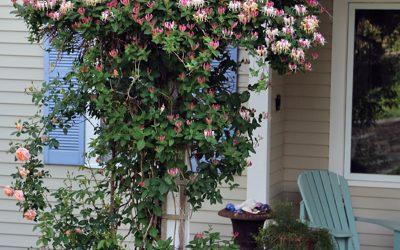 Fertilizing, Flowering Vines, and Elderberries