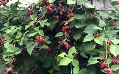 Weed Control, Brambles, and Pinching Cannabis