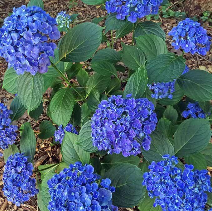 Blue Hydrangeas, Cattails and Birdseed Shells
