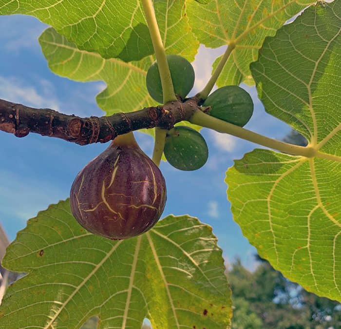 Fall Cocktails, Winter Protection and Growing Fig Trees