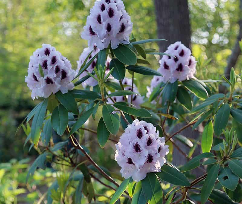 Calsap rhododendron flowers pale lavender with a dark purple center