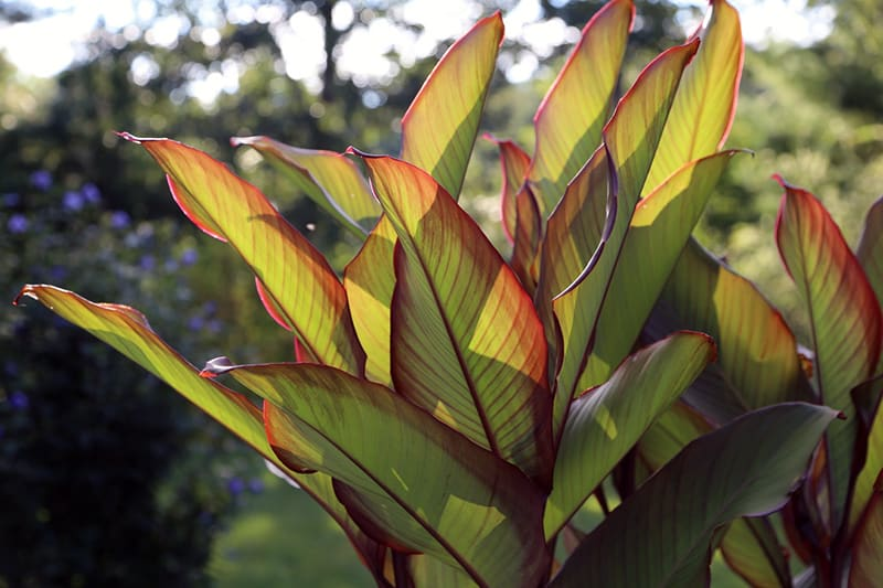 Frozen Greens, Cannas, and Peroxide in the Garden