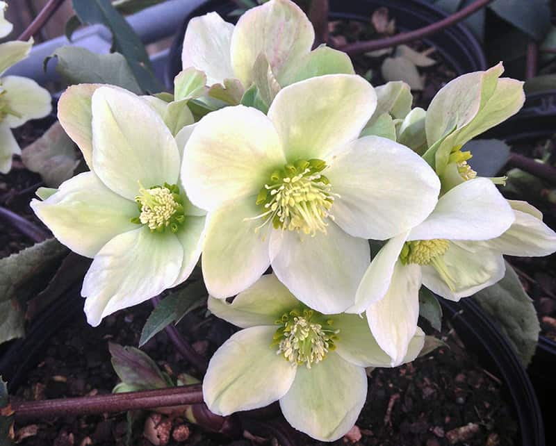 Healthy Soil, The Christmas Rose, and Spider Plants