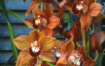 Cymbidiums, Shamrocks, Spring Edibles, & Cold Frames