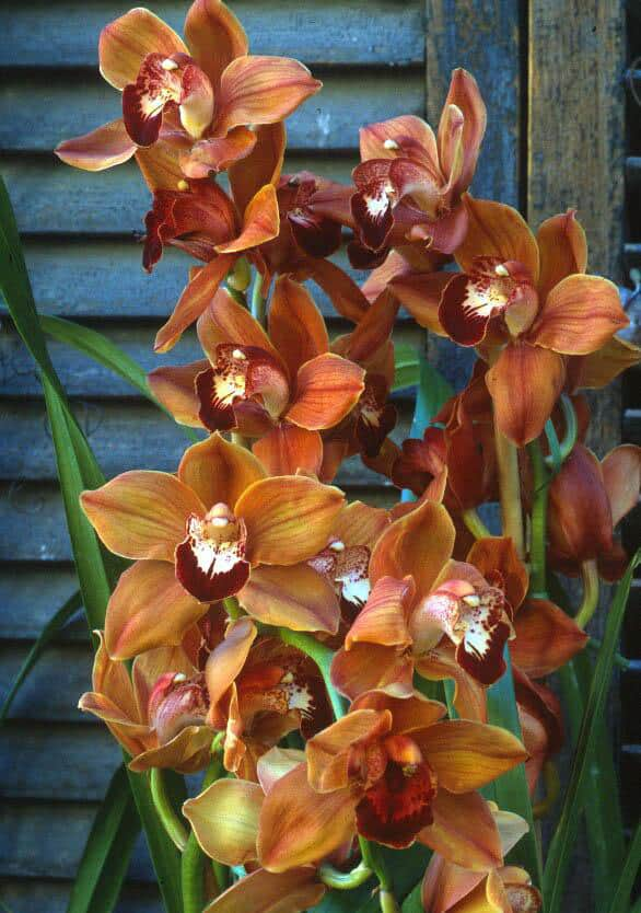 Cymbidiums are cool weather orchids. In this Plantrama episode we talk about how to keep them alive and blooming from year to year.