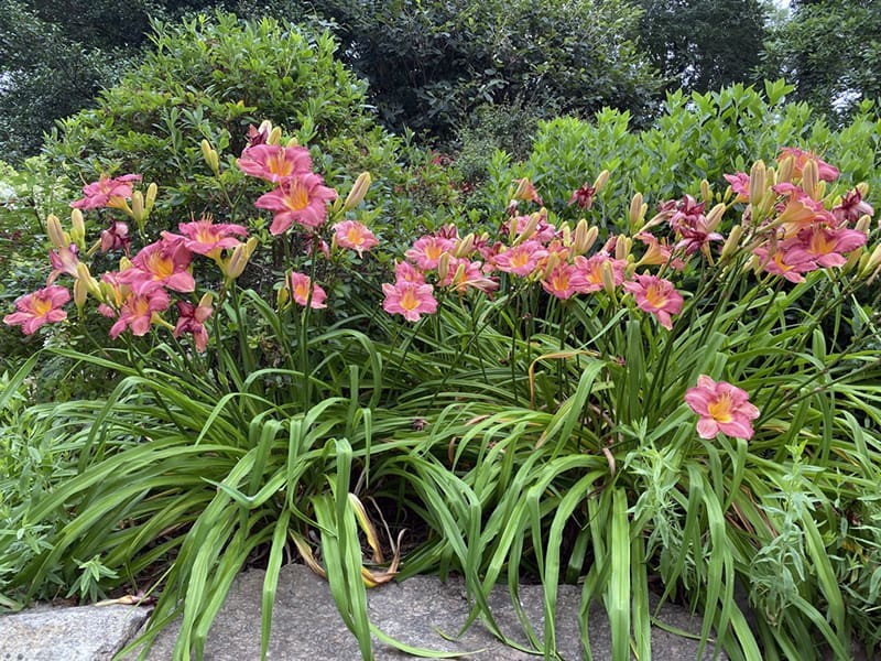 Your Outdoor Office, Daylilies, and Mosquito Control