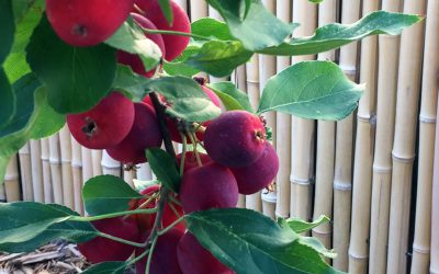 Apples, Amaryllis, and The Truth About Acorns