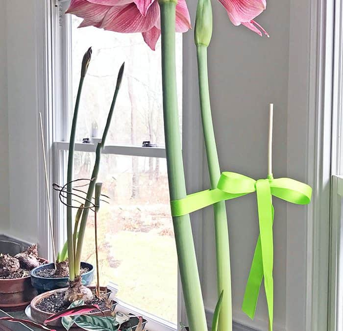 Heavy Amaryllis Flowers, Seed Catalogs and Houseplant Vacation Care