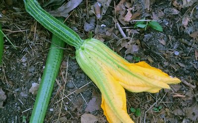Edible Flowers, Zucchini Problems, and White Specks in Potting Soil