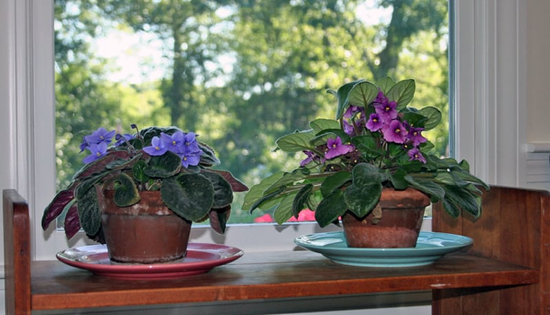 Herbs, Plant Pinching and African Violets