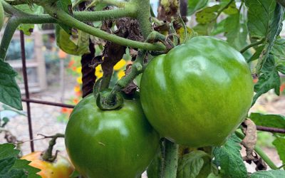Green Tomatoes, Saving Tropical plants and Raccoons Eating Corn