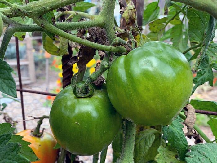 Green Tomatoes, Saving Tropical plants and Raccoons Eating Corn