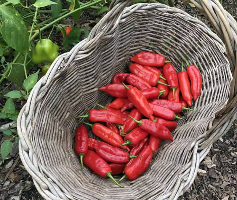 Sterilizing Soil, Growing Peppers and Water for Houseplants