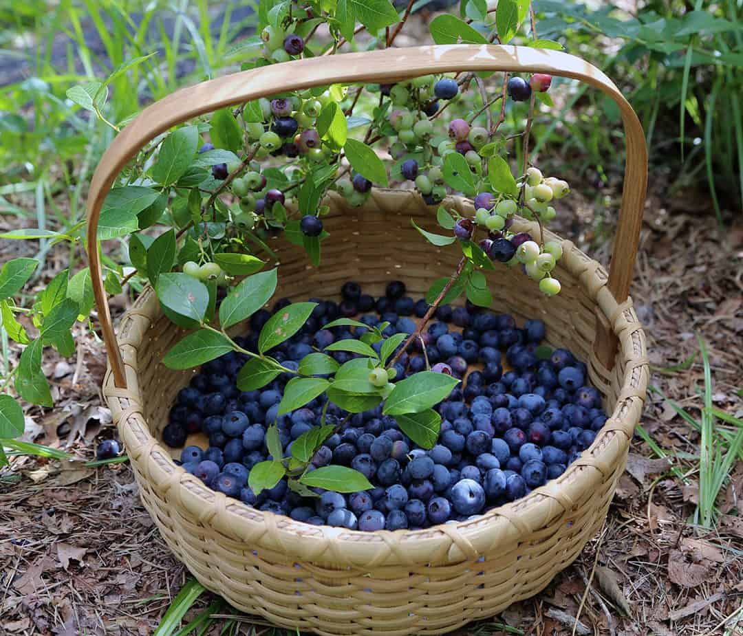 This photo shows a basket of blueberries picked from C.L. Fornari's blueberry bushes.