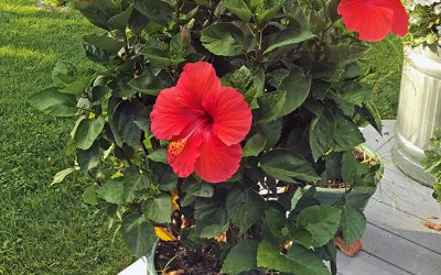 Tropical Hibiscus, Plant Gifts, and Cooking Dandelion Greens