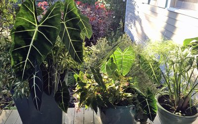 Bolting vegetables, Houseplants Outdoors, and Tree Transplantations
