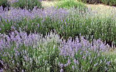 Dividing Perennials, Herb Gardens and Pruning Lilacs