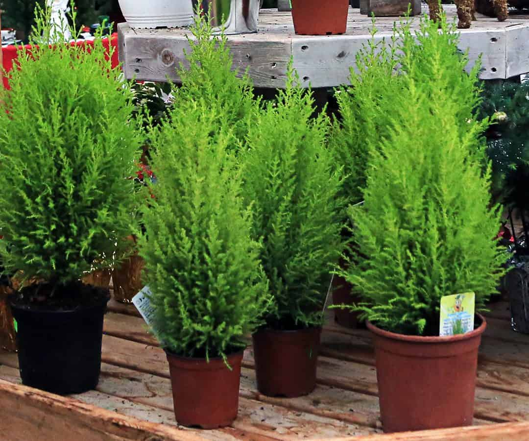 These plants are not hardy in the north but are easy to keep year to year.