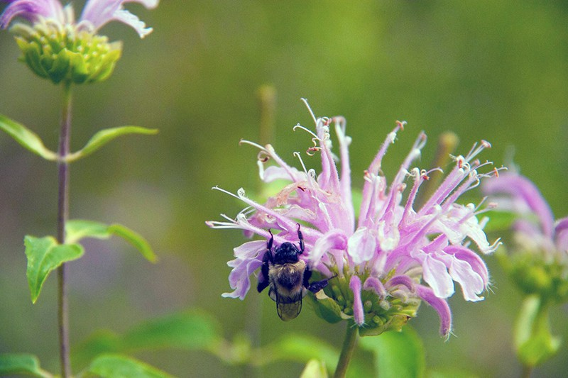 Plant-ID Apps, Bee Balm, and Japanese Beetles