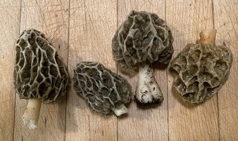 Morels are an early-to-forage for mushroom.