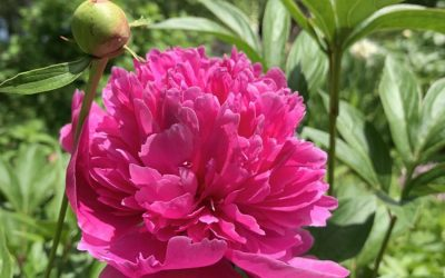 Omelets, Peonies, Oak Galls and Soap in the Garden