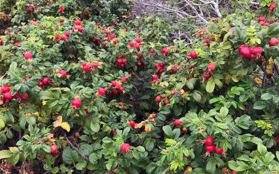 Continual Harvest, Houseplants to Summer Camp, and Rosa Rugosa