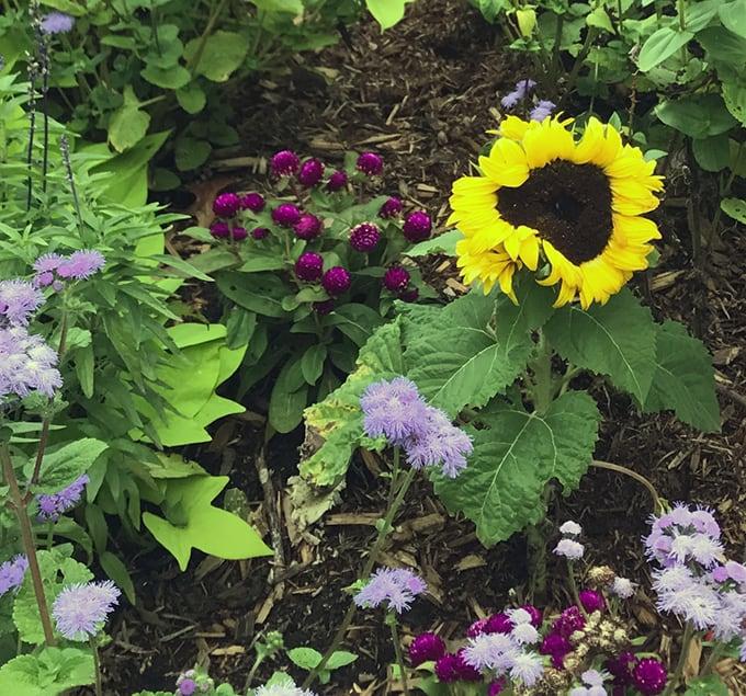 Rainbow Roses, Dish Garden Care, and Jerusalem Artichokes
