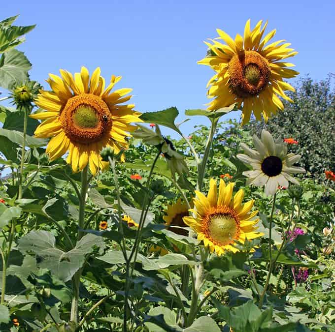 May Foraging, Annual Sunflowers and What Plants Do At Night