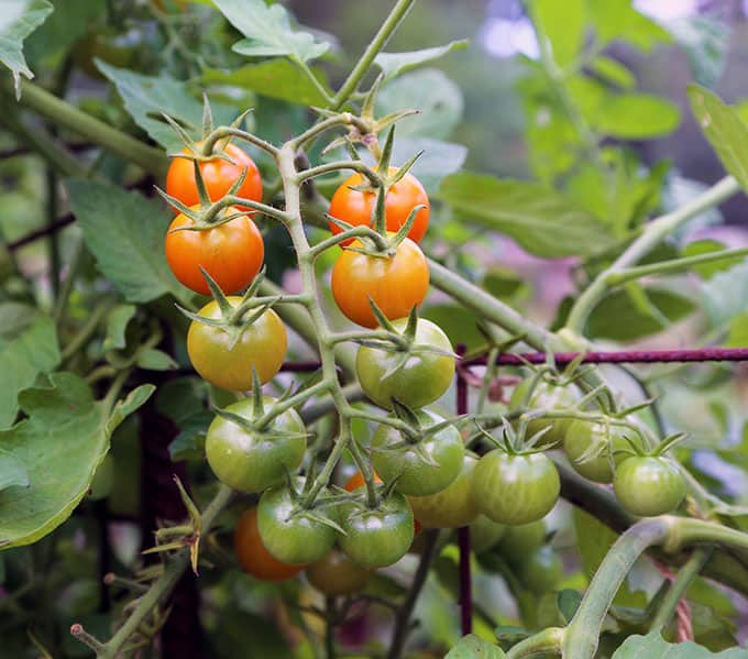 Soil For Tomatoes: Soil Testing, Planning Your Tomato Garden, Fiendish Weed