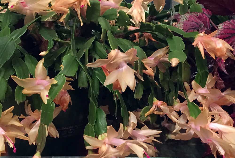 Thanksgiving Meals, Christmas Cactus and Holiday Gifts