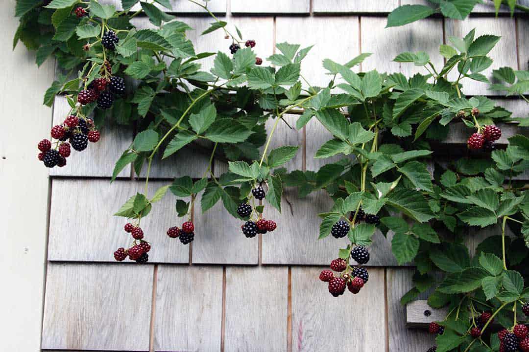 Edible alternative to climbing roses.