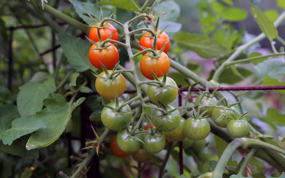 Tomato Troubles, Attracting or Repelling Insects, and Getting Started with Foraging