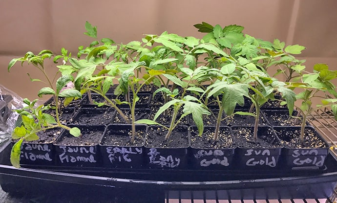 Leaf Edges, Containers for Seedlings and Hazardous Potting Mix