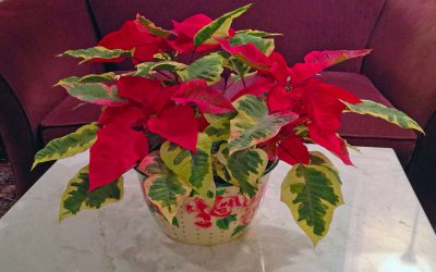 Winter Cocktails, Poinsettias, Preventing Mouse Damage and A Solstice Celebration