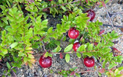 Houseplant Fertilizers, Avocados and Cranberry Plants