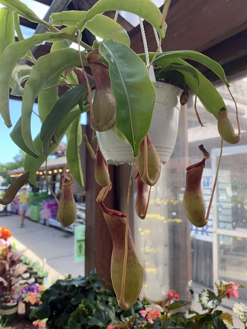 a pitcher plant, which is one type of carnivorous plant